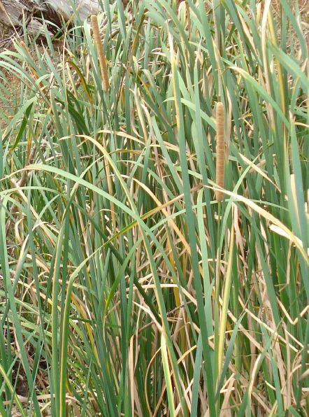 Bulrush Australian Bush Tucker Bush Food